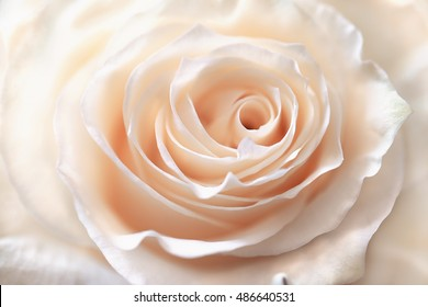 Petals cream-colored rose closeup. Natural background. Delicate flower.