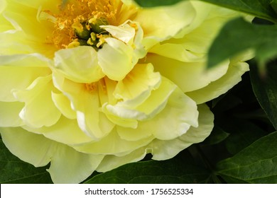 Petals of a lovely yellow peony flower in the natural light of the garden. The detail of the bloom's center highlights the developing green seed pods and delicate stamen.