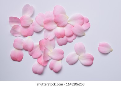 petals of pink camellia on white back ground.