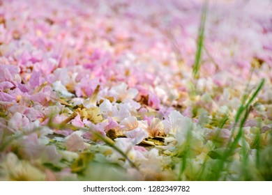 Petals of pink cherry blossom covered on ground