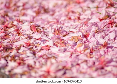 Petals of pink Cherry blossom in England fall down on the floor., select focus