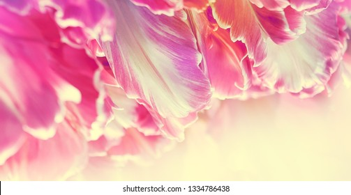 Petals of rose tulips in soft lights at blur background with place for your text bottom. Floral banner for your fashion decoration in a floristry shop, coral pallette - red, pink and purple tones.
