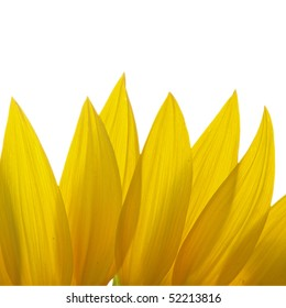 Petals of Sunflower isolated on white background