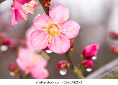 Petals are wet in the rain. Scientific name is Prunus mume. English name is Japanese apricot.