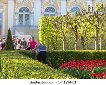 Peterhof, Russia, 05.18.2019. The gardener cuts the bushes in the garden of the Palace of Monplaisir in Peterhof