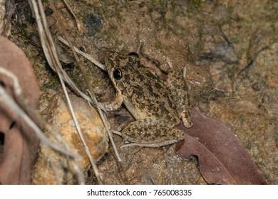 Peter's or Bumpy Rocket Frog (Litoria inermis) is a common frog in northern Australia. Ravenshoes, Queensland, Australia.