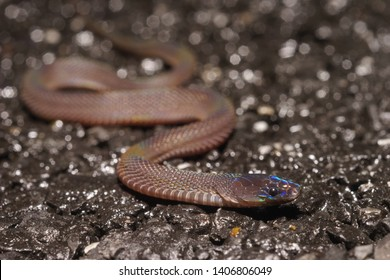Peters' odd-scaled snake, the Japanese odd-scaled snake, the Japanese ground snake or the grey burrowing snake (Achalinus spinalis). Reptile. Nanling, Guangdong, China.
