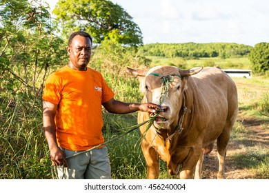 PETIT-CANAL, GUADELOUPE - OCTOBER 06, 2015: creole with steer in the countryside of Guadeloupe
