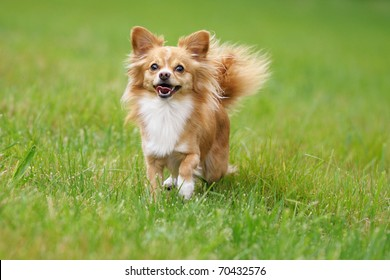 petite Chihuahua  happily on a cloudy day above the meadow
