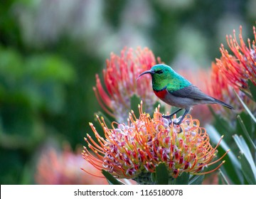 A petite Sunbird captured within Pincushion Protea Flowers in the beautiful Kirstenbosch Botanical Gardens in Cape Town, South Africa.