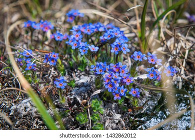 Petite wildflowers growing on a mountainside tundra in Nome Alaska.