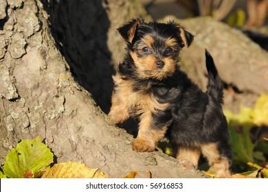 petite Yorkshire terrier puppy 7 weeks plays in the garden