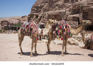 PETRA, JORDAN - MAY 07, 2015: Camels near the makeshift souvenir stands