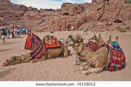 4f783d1da40 PETRA, JORDAN - NOV 24: Bedouin camels provide tourist rides through the  magnificent ruins of ancient Petra on November 24, 2010 in Petra, Jordan.  Petra is ...