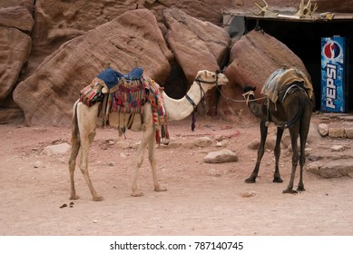 Petra, Jordan - October 26, 2016: Camels used for transportation takes a rest