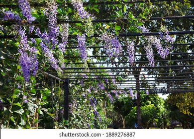 Petrea volubilis flower are blooming in the garden