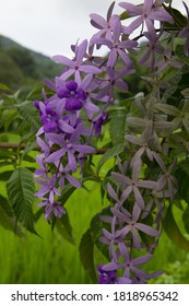 Petrea volubilis flower has names such as Purple wreath, Sandpaper vine, Queen's wreath. The flowers are indigo purple bouquet with 5 petals, like a five-pointed star. In ornamental garden, Thailand.