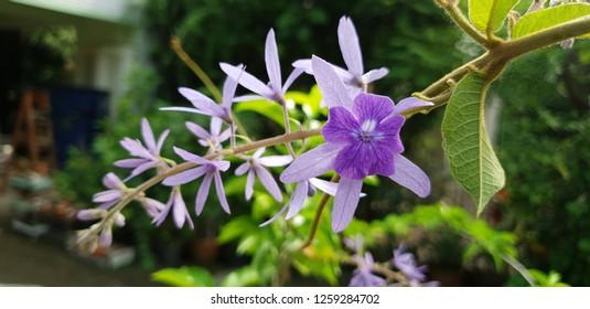 Petrea volubilis flowers on the vine