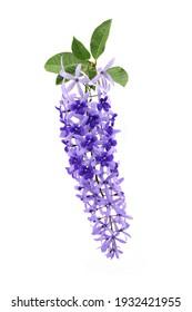 Petrea volubilis L, Sandpaper vine, Queens Wreath, Purple Wreath, Beautiful blue bouquet flowers isolated on white background