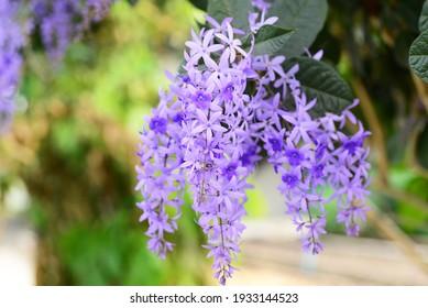 Petrea volubilis L or Sandpaper vine flowers tree