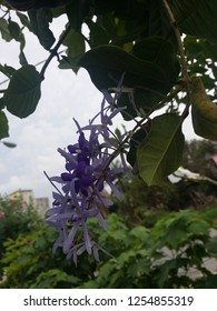 Petrea volubilis plant