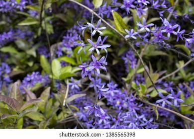 Petrea volubilis with purple decorative flowers in garden
