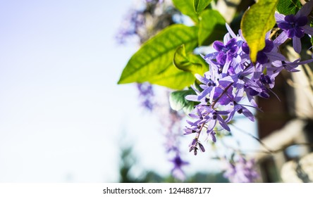 Petrea volubilis or Petrea, Queen's Wreath tree. Beautiful healthy tropical purple ivy flowers, five long cluster flower base, violet petals. With empty sky space for natural spring  floral background