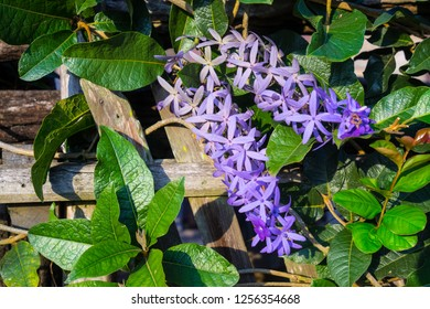 Petrea volubilis or Petrea, Queen's Wreath tree. Beautiful healthy tropical purple ivy flowers, five long flower base, violet petals. Climber on wooden fence in spring.  Home floral garden background