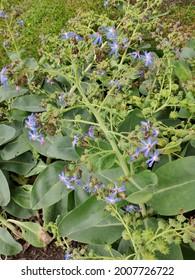 Petrea volubilis or Sandpaper vine or Purple wreath or Queen's wreath or Petrea kohautiana or Petre racemosa or Bluebird vine flowers.
