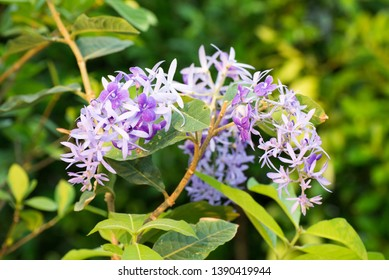 Petrea volubilis,Beautiful purple wreath vine or queen's wreath vine flower.Healthy tropical purple ivy flowers, violet petals in garden.