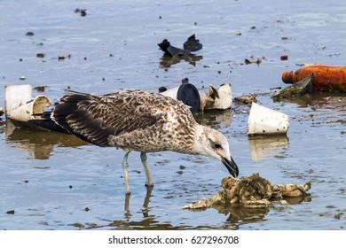 Petrel bird pecking at pollution garbage debris in harbor in Durban, South Africa