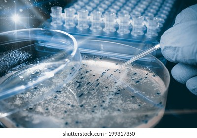 Petri dish with bacterial colonies, scientific experiment, toned image