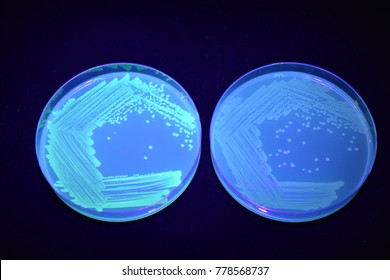 Petri dishes containing green fluorescent E. coli (left) and normal E. coli (right)