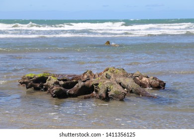 Petrified ancient tree stumps that are part of an old submerged forest,  on the shoreline at Borth, Ceredigion, Wales, UK.