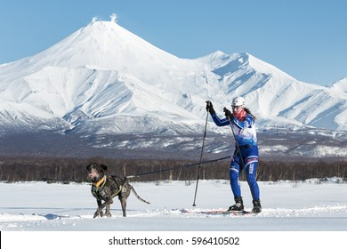 PETROPAVLOVSK, KAMCHATKA PENINSULA, RUSSIA - DEC 10, 2016: Skijoring - competition for Cup of Kamchatka Region on background of Avacha Volcano. Skier-racer Klimova Galina and sled dog kurtshaar Argo.