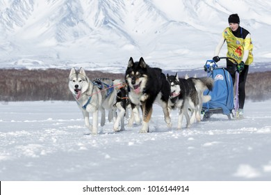 PETROPAVLOVSK, KAMCHATKA PENINSULA, RUSSIA - FEB 25, 2017: Running sled dog team Kamchatka musher Chiruhina Yulya. Kamchatka Sled Dog Racing Beringia, Russian Cup of Sled Dog Racing (snow disciplines)