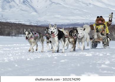 PETROPAVLOVSK, KAMCHATKA, RUSSIA - FEB 25, 2017: Running sled dog team Kamchatka musher Mandyatov Roman. Russian Cup of Sled Dog Racing (snow disciplines), Kamchatka Peninsula Sled Dog Racing Beringia