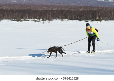 PETROPAVLOVSK-KAMCHATSKY, KAMCHATKA PENINSULA, RUSSIA - DECEMBER 10, 2016: Kamchatka skier-racer Khoroshilov Andrey and sled dog nicknamed Hera. Skijoring - competition for Cup of Kamchatka Region