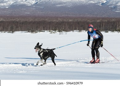 PETROPAVLOVSK-KAMCHATSKY, KAMCHATKA PENINSULA, RUSSIA - DECEMBER 10, 2016: Skijor races - competition for Cup of Kamchatka Region. Sportswoman skier-racer Natalia Orekhova and a dog named Geyser.