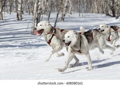 PETROPAVLOVSK-KAMCHATSKY, KAMCHATKA PENINSULA, RUSSIA - FEBRUARY 23, 2017: Kamchatka Kids Competitions Sled Dog Race Dyulin (Beringia). Runs dog sled young Kamchatka musher Elizabeth Popova.