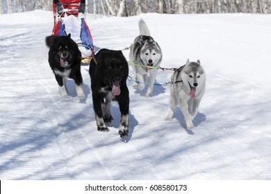 PETROPAVLOVSK-KAMCHATSKY, KAMCHATKA PENINSULA, RUSSIA - FEBRUARY 23, 2017: Kamchatka Kids Competitions Sled Dog Race Dyulin (Beringia). Runs dog sled young Kamchatka musher Lyulin Kirill.