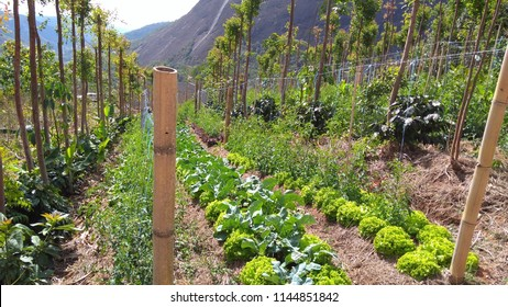 Petropolis, RJ/Brazil – July 27, 2018: Productive reforestation through the implementation of agroforestry systems: vegetable beds (lettuce, cauliflower, tomato, etc.) between tree beds.