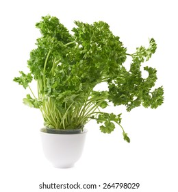 Petroselinum crispum apiaceae garden parsley plant in a white ceramic pot, composition isolated over the white background