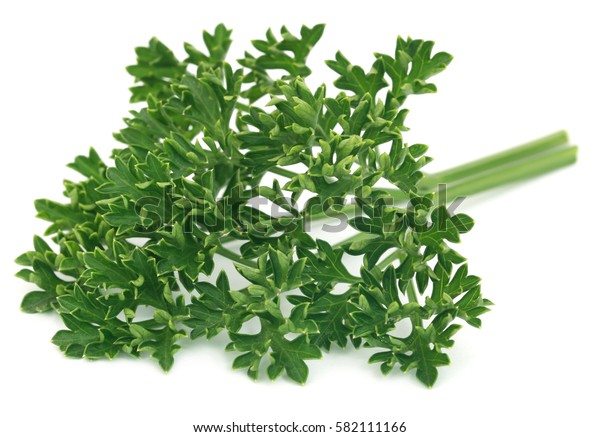 Petroselinum crispum or parsley over white background