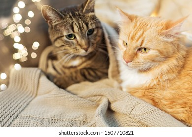 pets, christmas and hygge concept - two cats lying with blanket at home in winter