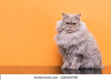 Pets, fluffy gray adult Cat sits on a orange background and looks into the camera. Cat isolated on orange background in studio, place for text from above. Copyspace
