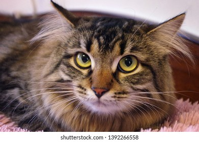 Pets. Mischievous cat close up. yellow big eyes. Siberian cat. cat with character.
