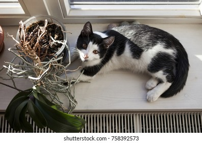 Pets and plants concept: black and white young cat looking into camera from window sill where it lies in sunlight at the side of house plant, orchid.
