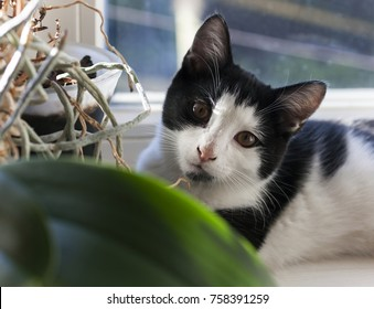 Pets and plants concept: young cat looking into camera over orchid leaves on window sill.