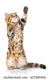 pets and playing concept - playful kitten stands on two hind legs with a raised front paw up. isolated on white background